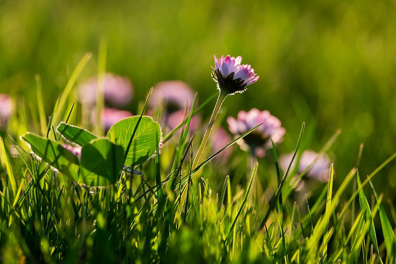 daisy-3315036_1280