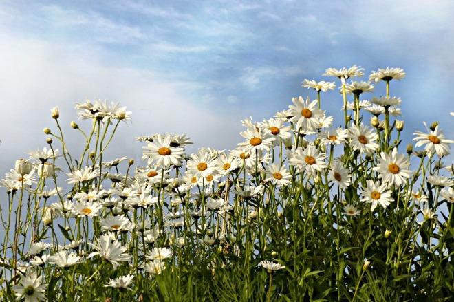 daisies-1575197_1280