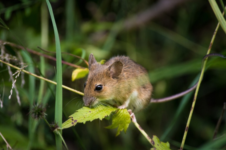 mouse-2776155_1280