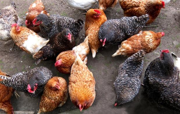 Aufregung im Hühnerhof