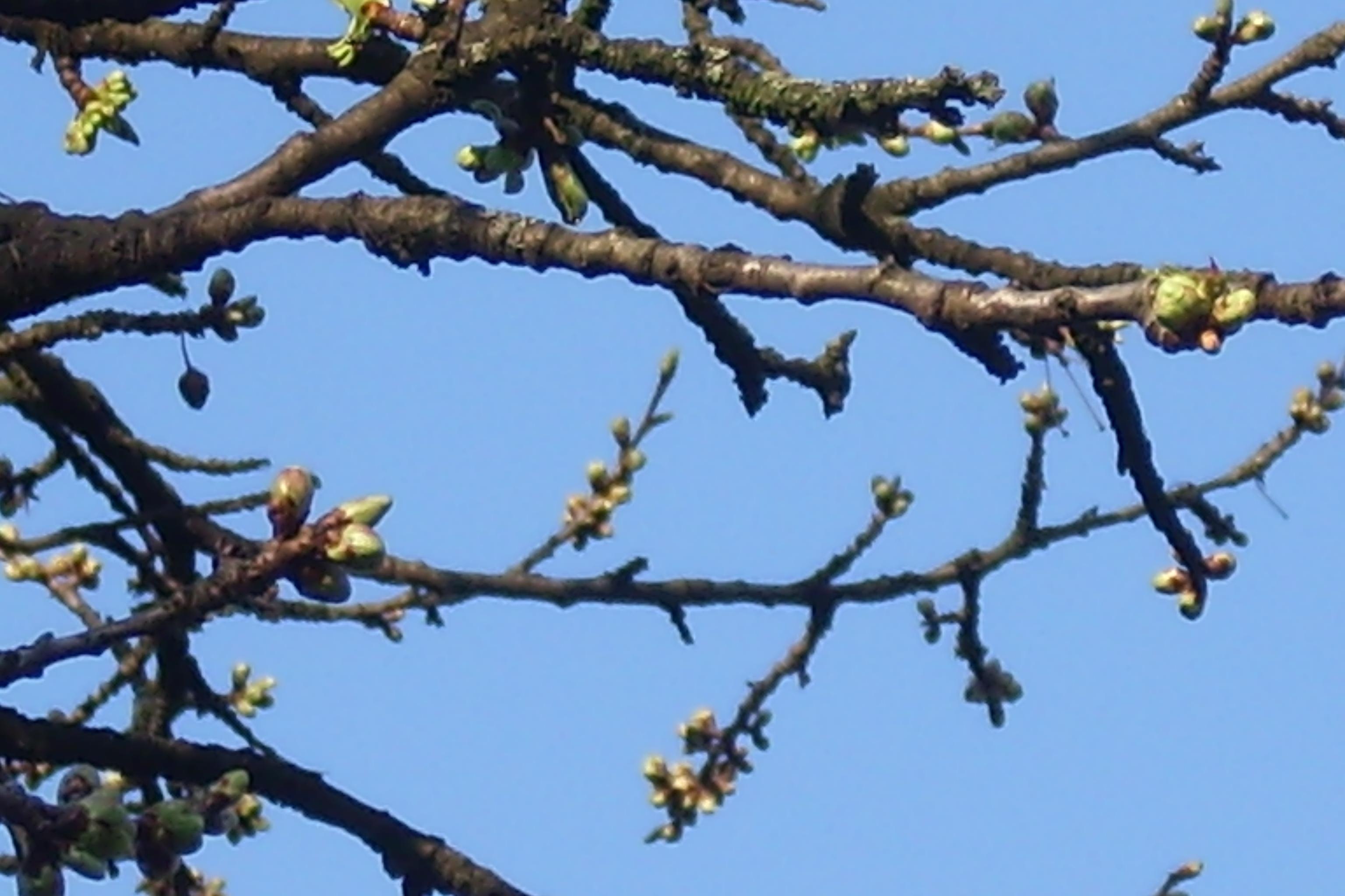 Kirschzweige im Frühling
