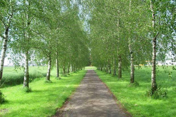 Der Birkenweg imFrühling