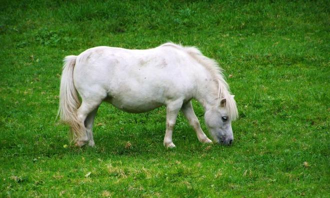 pony-981528_1280