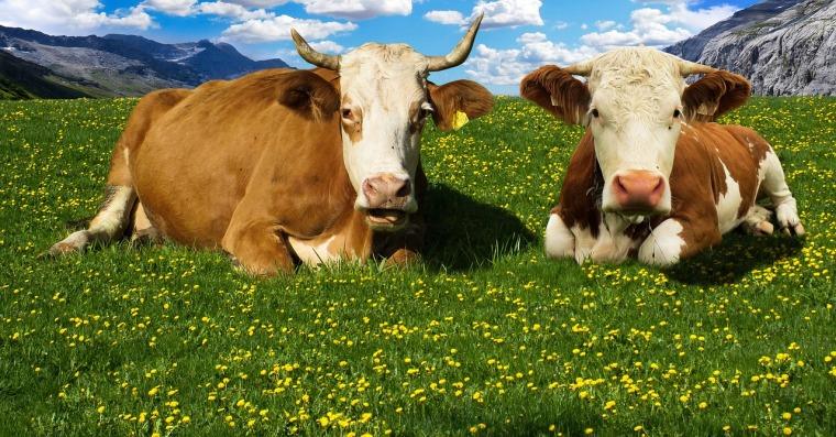 cow-1415553_1280