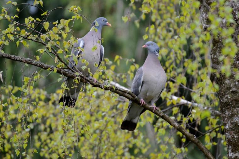 pigeons-736246_1280