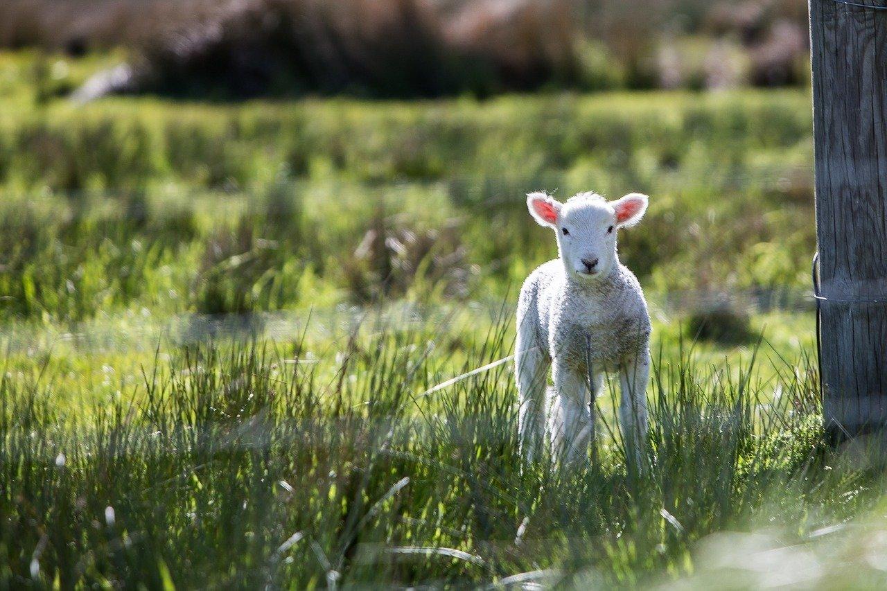 lamb-1081950_1280