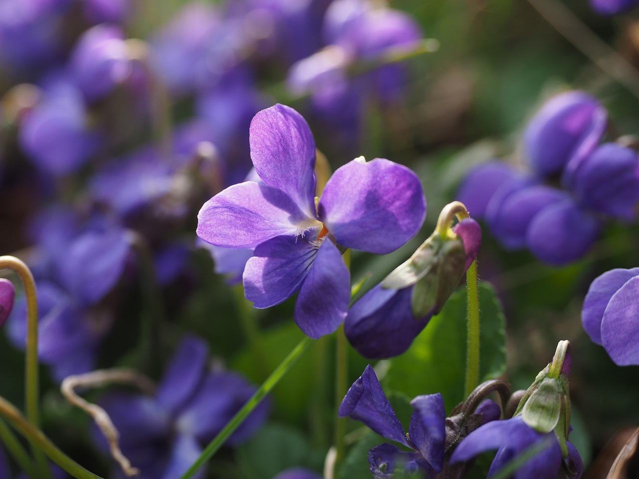 scented-violets-1077159_1280