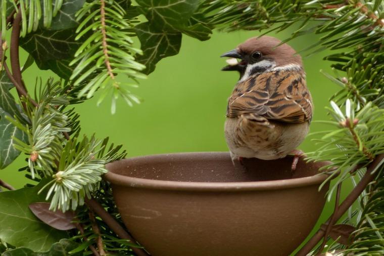 sparrow-1376791_1280
